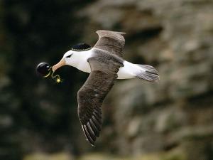 mossad albatros